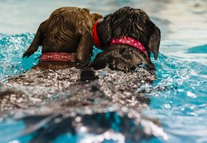 suffolk_canine_creche_swimming-double