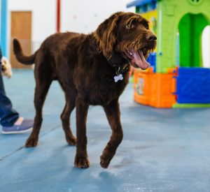 suffolk_canine_creche_dylan-doodle