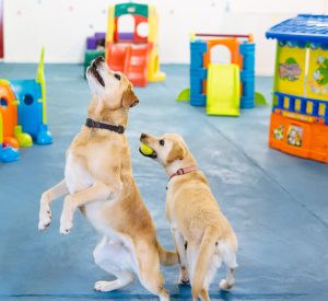 suffolk_canine_creche_jumping-for-balls