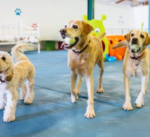 suffolk_canine_creche_labs-and-darcy